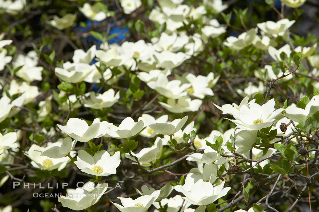 Mountain dogwood, or Pacific dogwood, Yosemite Valley. Yosemite National Park, California, USA, Cornus nuttallii, natural history stock photograph, photo id 12682