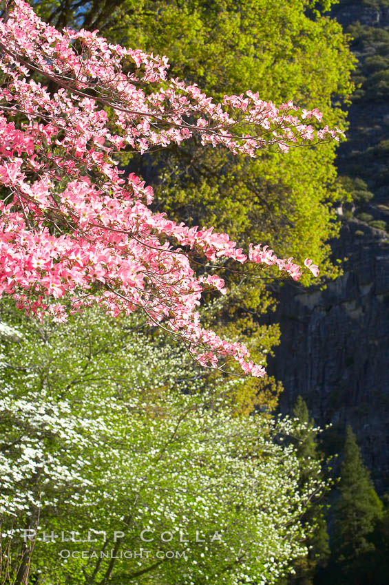 Mountain dogwood, or Pacific dogwood, Yosemite Valley. Yosemite National Park, California, USA, Cornus nuttallii, natural history stock photograph, photo id 12688