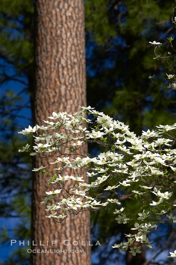 Mountain dogwood, or Pacific dogwood, Yosemite Valley. Yosemite National Park, California, USA, Cornus nuttallii, natural history stock photograph, photo id 12679