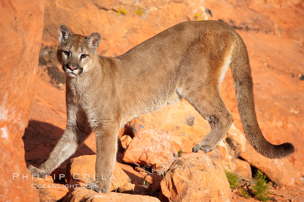 Mountain lion., Puma concolor, natural history stock photograph, photo id 12294