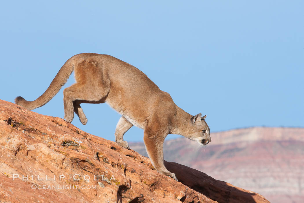 Mountain lion., Puma concolor, natural history stock photograph, photo id 12314