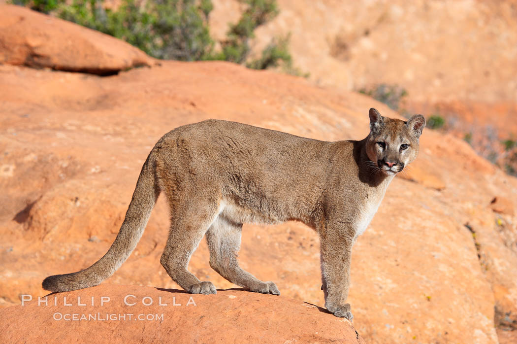 Image 12303, Mountain lion., Puma concolor, Phillip Colla, all rights reserved worldwide. Keywords: animal, animalia, carnivora, carnivore, catamount, chordata, concolor, cougar, creature, deer tiger, felidae, feliformia, felinae, le�n, le�n americano, le�n bayo, le�n colorado, le�n de monta�a, mammal, mitzli, mountain lion, moutain lion, nature, onza bermeja, panther, puma, puma concolor, red tiger, vertebrata, vertebrate, wildlife.