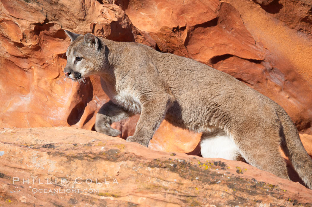 Mountain lion., Puma concolor, natural history stock photograph, photo id 12311