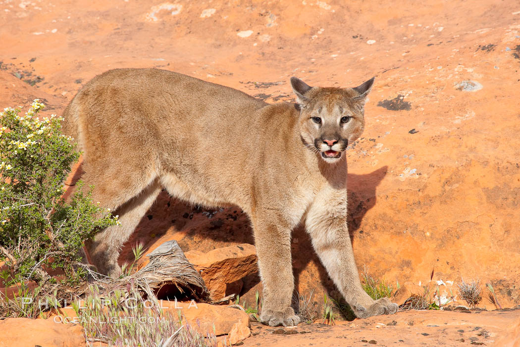 Mountain lion., Puma concolor, natural history stock photograph, photo id 12323