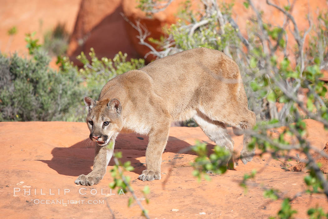 Mountain lion., Puma concolor, natural history stock photograph, photo id 12327
