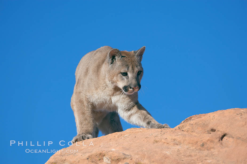 Mountain lion., Puma concolor, natural history stock photograph, photo id 12331