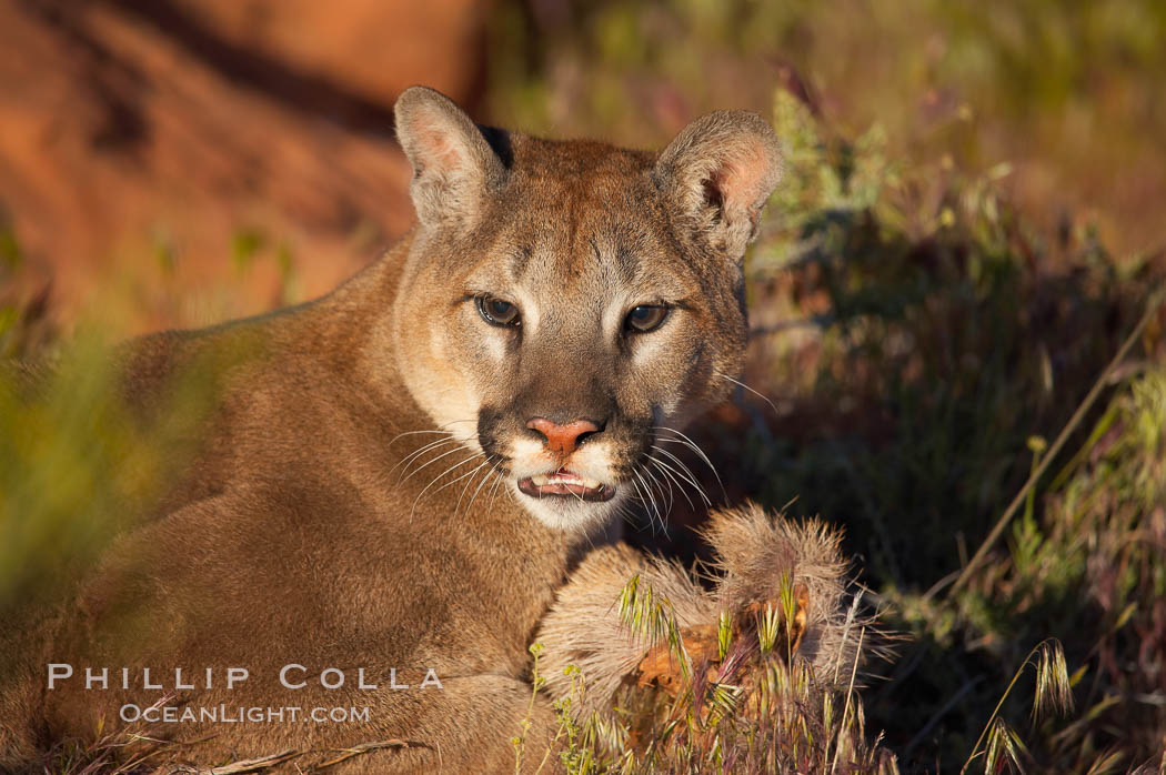 Mountain lion., Puma concolor, natural history stock photograph, photo id 12281