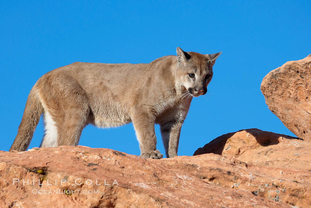 Mountain lion., Puma concolor, natural history stock photograph, photo id 12309