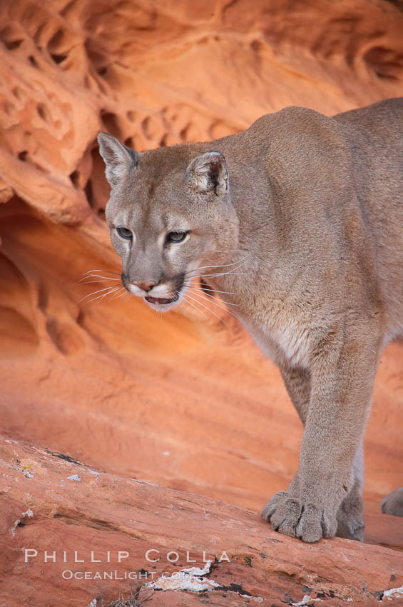 Mountain lion., Puma concolor, natural history stock photograph, photo id 12321