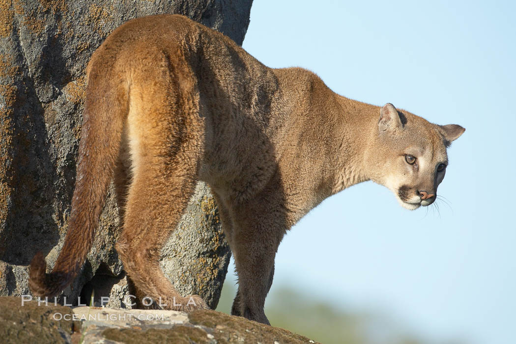 Mountain lion, Sierra Nevada foothills, Mariposa, California., Puma concolor, natural history stock photograph, photo id 15850