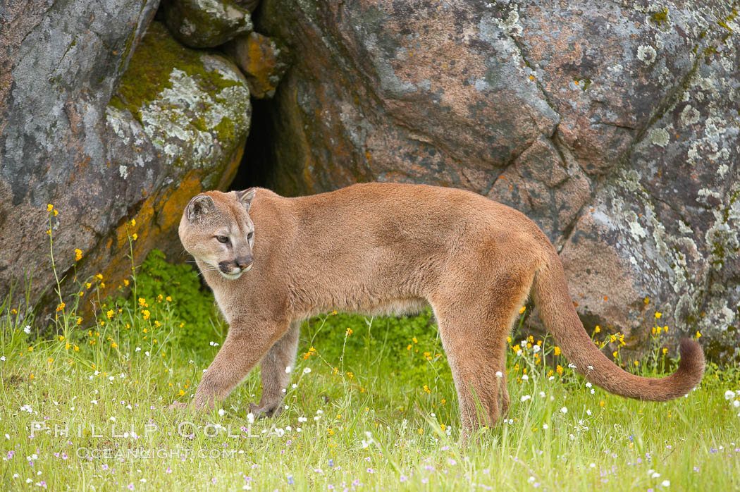 Mountain lion, Sierra Nevada foothills, Mariposa, California., Puma concolor, natural history stock photograph, photo id 15813