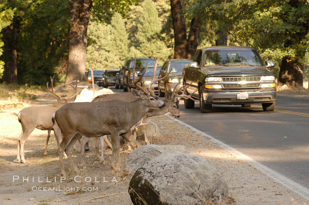 Mule deer pause beside traffic in Yosemite Valley. Yosemite National Park, California, USA, Odocoileus hemionus, natural history stock photograph, photo id 07629