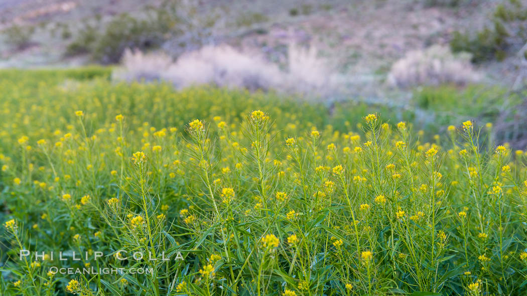 Mustard in bloom during the 2017 Superbloom, Anza Borrego. Anza-Borrego Desert State Park, Borrego Springs, California, USA, natural history stock photograph, photo id 33111