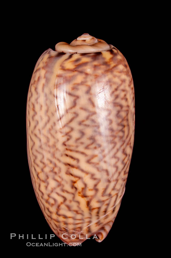 Mustellina Olive, Oliva mustellina, natural history stock photograph, photo id 07958
