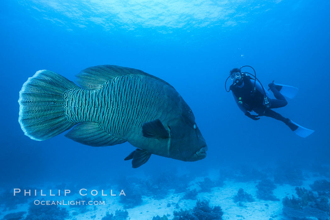 Napolean wrasse and diver. Egyptian Red Sea, natural history stock photograph, photo id 01490