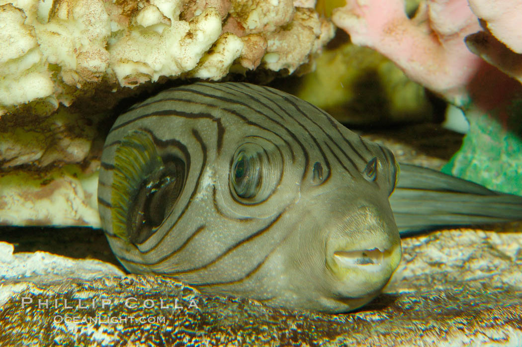 A striped puffer rests under a coral ledge., Arothron manilensis, natural history stock photograph, photo id 09458