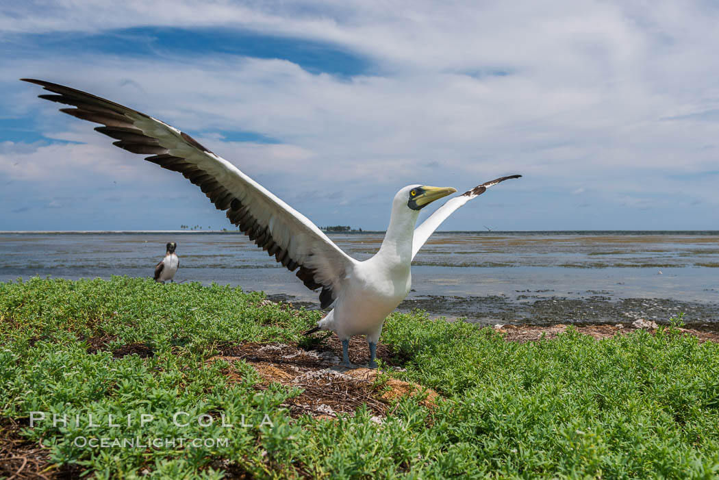 Nazca Booby, Clipperton Island. France, natural history stock photograph, photo id 33093