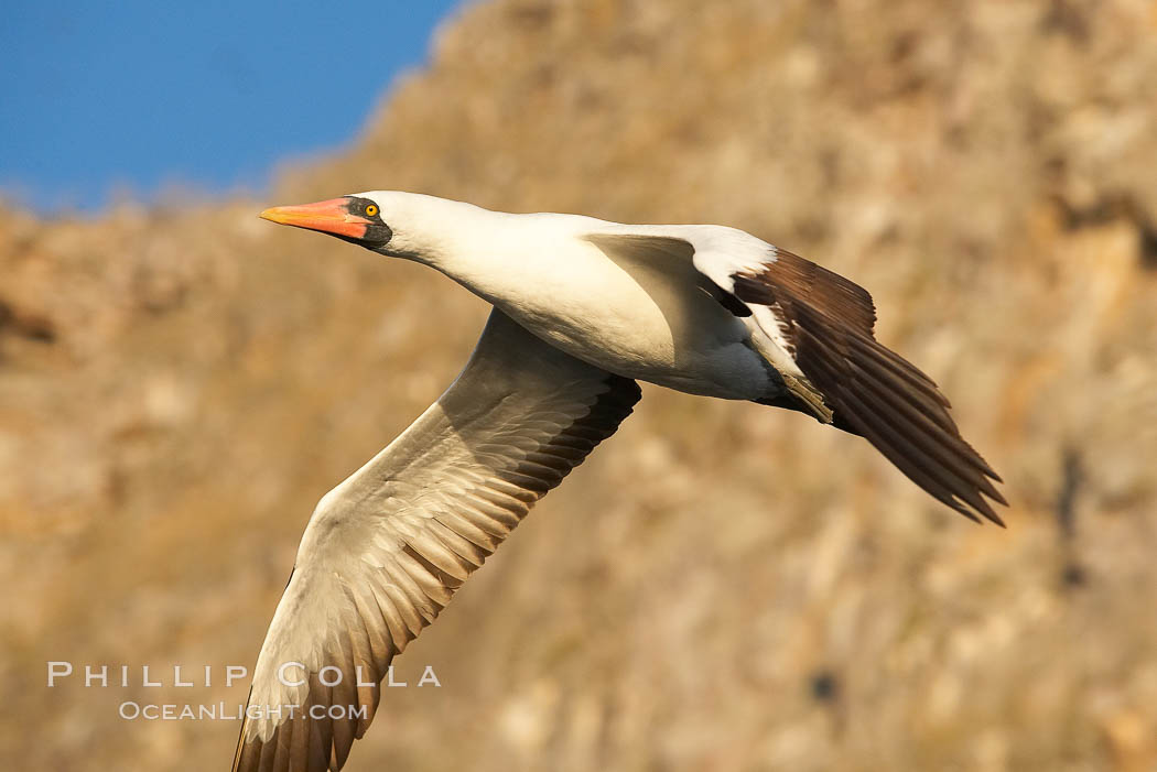 Nazca booby in flight. Wolf Island, Galapagos Islands, Ecuador, Sula granti, natural history stock photograph, photo id 16529