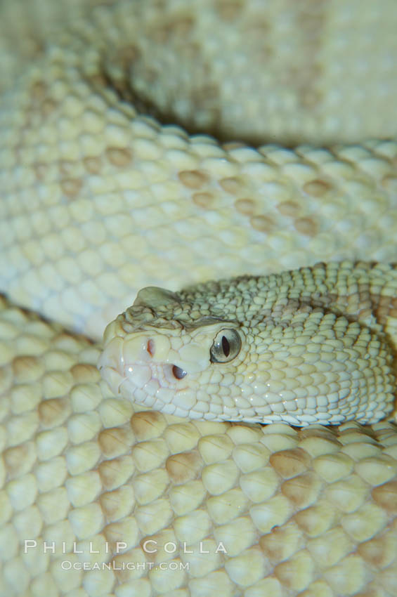 Neotropical rattlesnake., Crotalus durissus, natural history stock photograph, photo id 12566