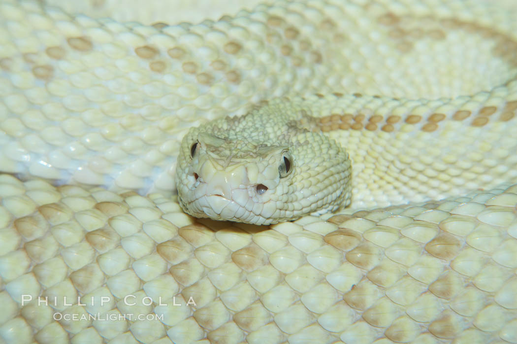Image 12564, Neotropical rattlesnake., Crotalus durissus