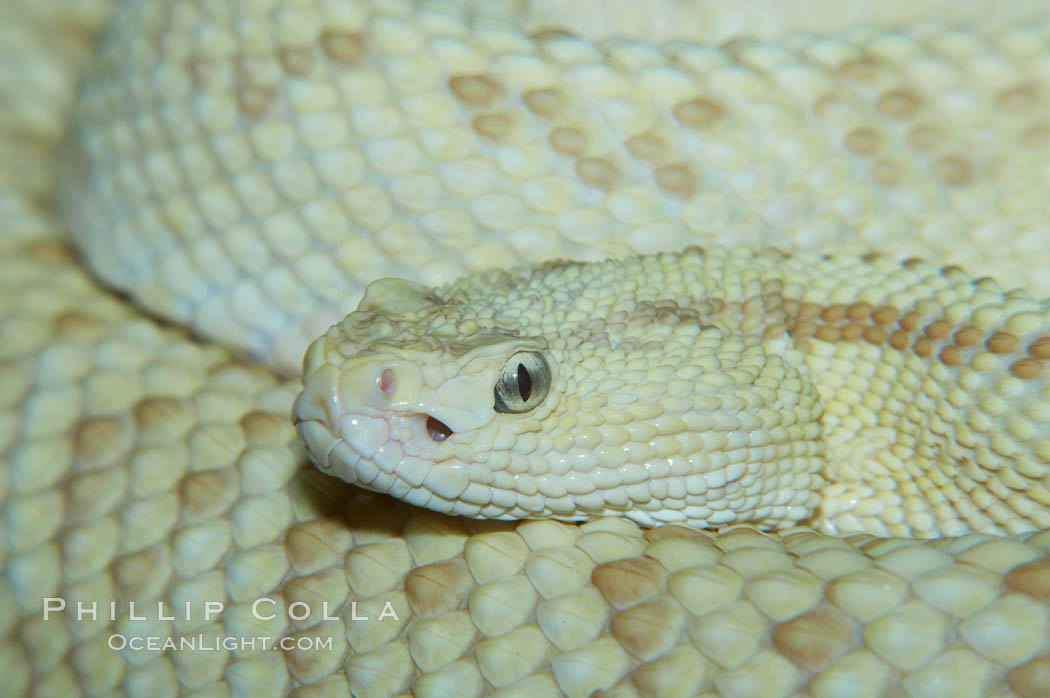 Image 12565, Neotropical rattlesnake., Crotalus durissus