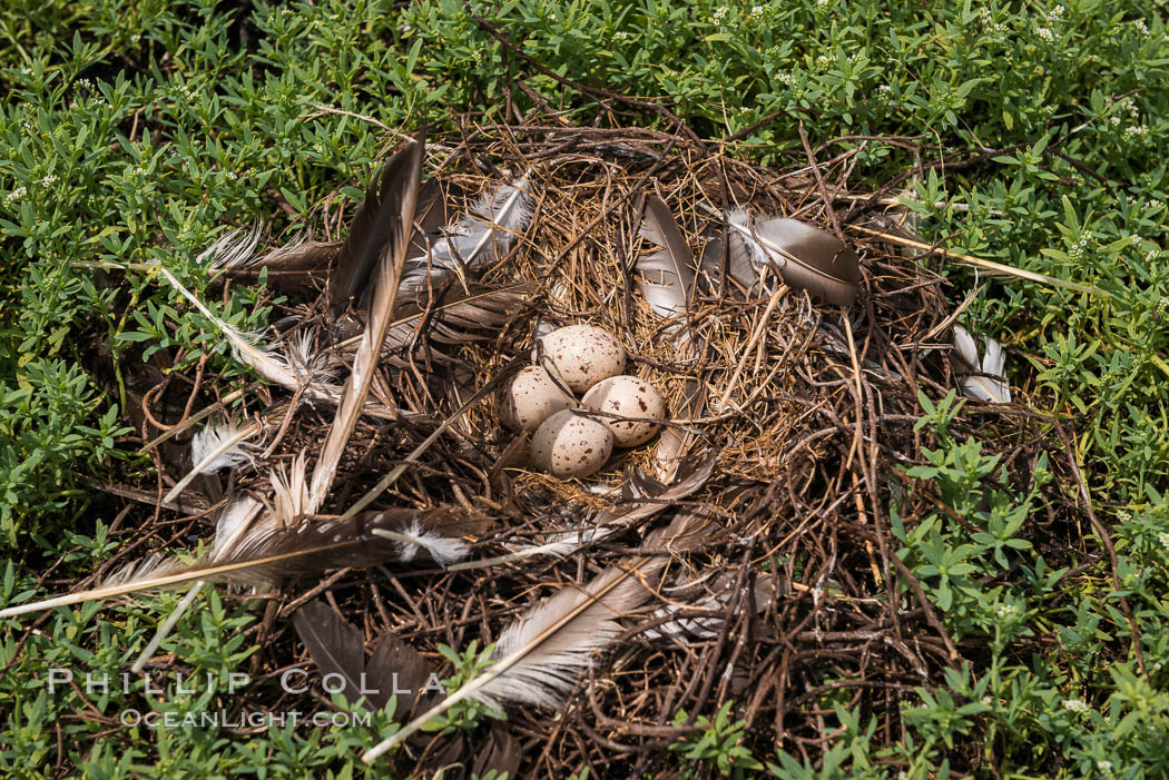 Image 33090, Nest and Eggs, Clipperton Island. Clipperton Island, France, Phillip Colla, all rights reserved worldwide. Keywords: atoll, bird, clipperton island, egg, france, island, nest, ocean, pacific, permit hc 1485 cab.
