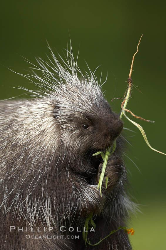 North American porcupine., Erethizon dorsatum, natural history stock photograph, photo id 15934