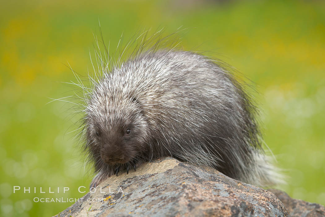 North American porcupine., Erethizon dorsatum, natural history stock photograph, photo id 15938