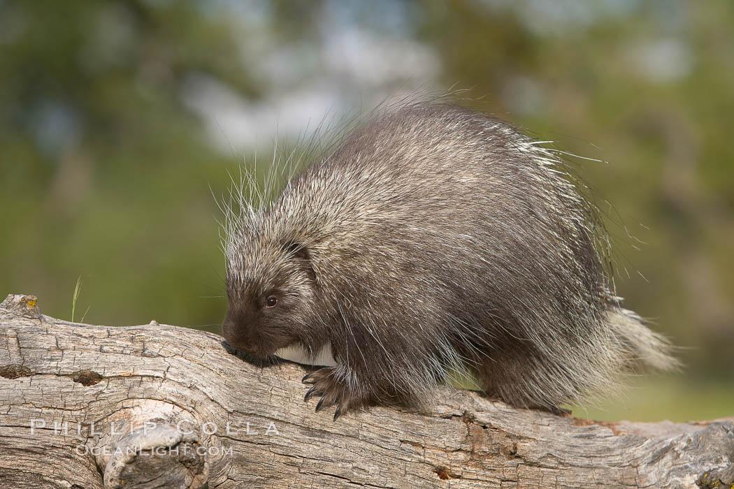North American porcupine., Erethizon dorsatum, natural history stock photograph, photo id 15944