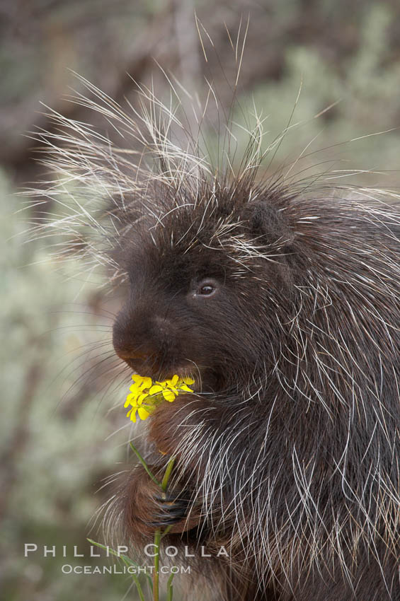 North American porcupine., Erethizon dorsatum, natural history stock photograph, photo id 12147
