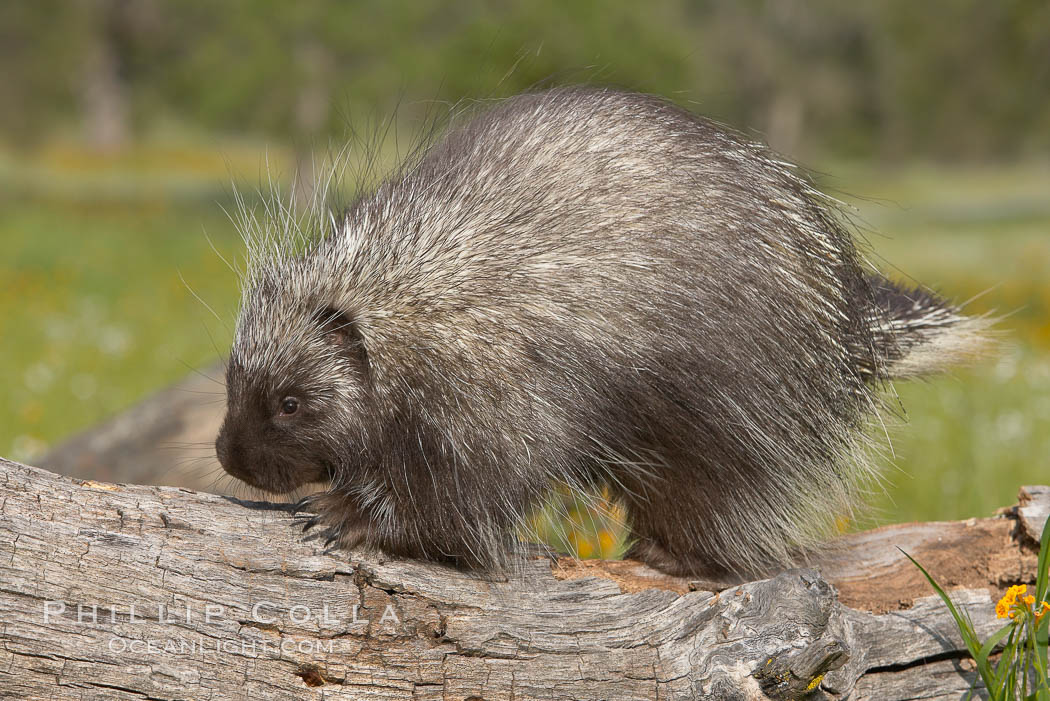 North American porcupine., Erethizon dorsatum, natural history stock photograph, photo id 15935