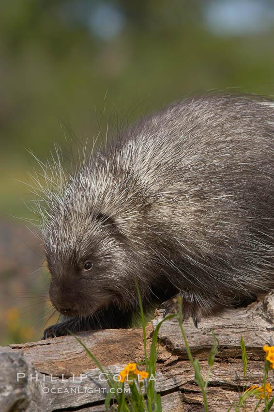 Image 15937, North American porcupine., Erethizon dorsatum