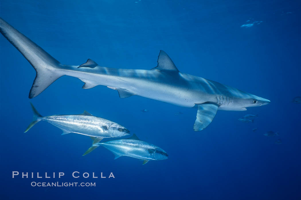 Blue shark and yellowtail in the open ocean. San Diego, California, USA, Seriola lalandi, Prionace glauca, natural history stock photograph, photo id 00998