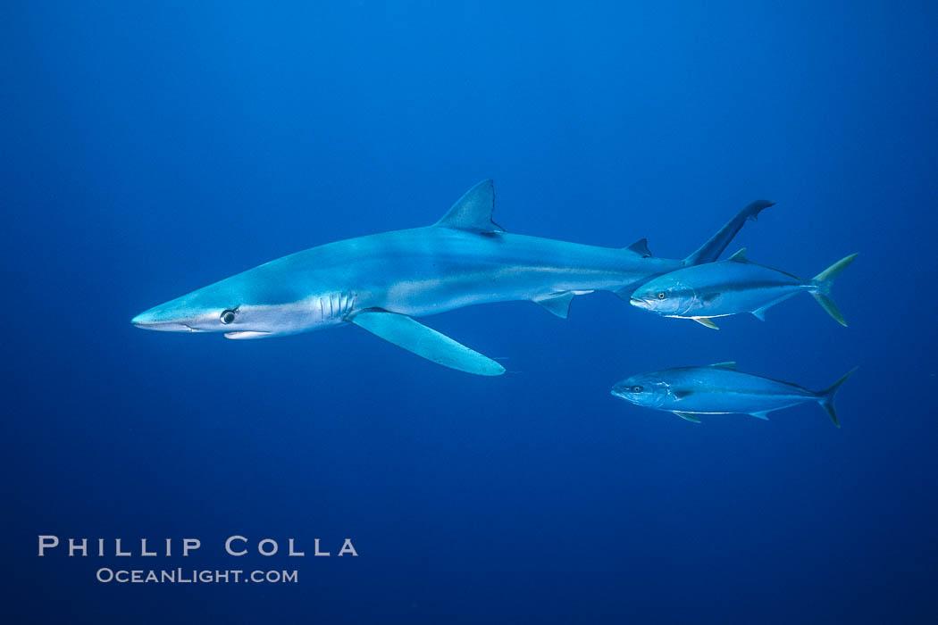 North Pacific Yellowtail brushing against blue shark. San Diego, California, USA, Seriola lalandi, Prionace glauca, natural history stock photograph, photo id 00999