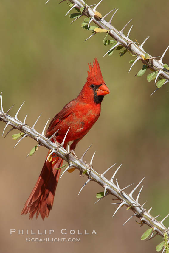 Northern cardinal, male. Amado, Arizona, USA, Cardinalis cardinalis, natural history stock photograph, photo id 23043