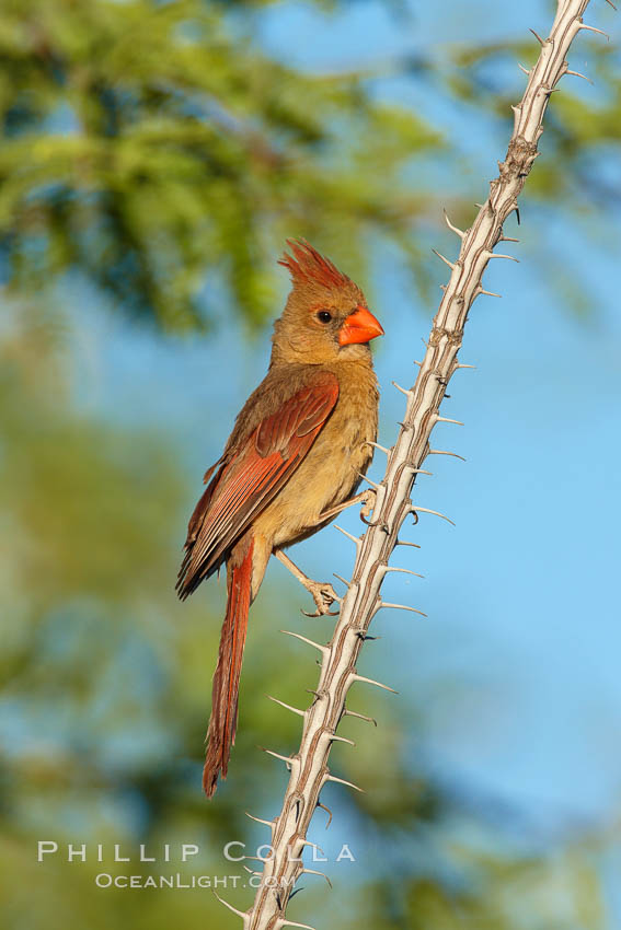 Northern cardinal, female. Amado, Arizona, USA, Cardinalis cardinalis, natural history stock photograph, photo id 22897