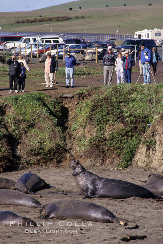Tourists view northern elephant seals on the beach near Piedras Blancas, central California. San Simeon, USA, Mirounga angustirostris, natural history stock photograph, photo id 10066