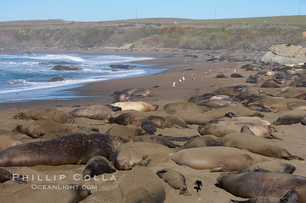 Elephant seals crowd a sand beach at the Piedras Blancas rookery near San Simeon. Piedras Blancas, San Simeon, California, USA, Mirounga angustirostris, natural history stock photograph, photo id 15430