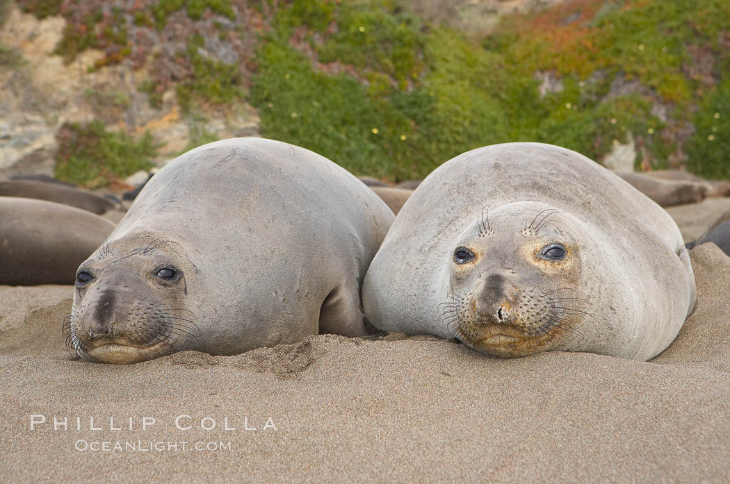 Two adult female elephant seals rest on a sandy beach, winter, Central California. Piedras Blancas, San Simeon, USA, Mirounga angustirostris, natural history stock photograph, photo id 15392