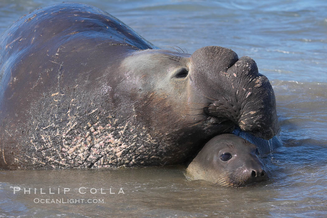 Elephant seals in the surf, showing extreme dimorphism, males (5000 lb) are triple the size of females (1700 lb).  Central California. Piedras Blancas, San Simeon, California, USA, Mirounga angustirostris, natural history stock photograph, photo id 15404