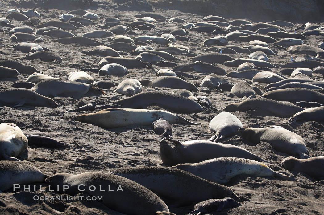 Elephant seals crowd a sand beach at the Piedras Blancas rookery near San Simeon. Piedras Blancas, San Simeon, California, USA, Mirounga angustirostris, natural history stock photograph, photo id 15432