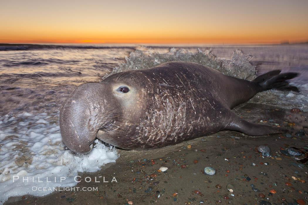 Northern elephant seal., Mirounga angustirostris, natural history stock photograph, photo id 26690