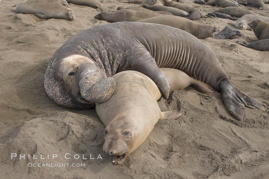 A bull elephant seal forceably mates (copulates) with a much smaller female, often biting her into submission and using his weight to keep her from fleeing.  Males may up to 5000 lbs, triple the size of females.  Sandy beach rookery, winter, Central California. Piedras Blancas, San Simeon, California, USA, Mirounga angustirostris, natural history stock photograph, photo id 15450