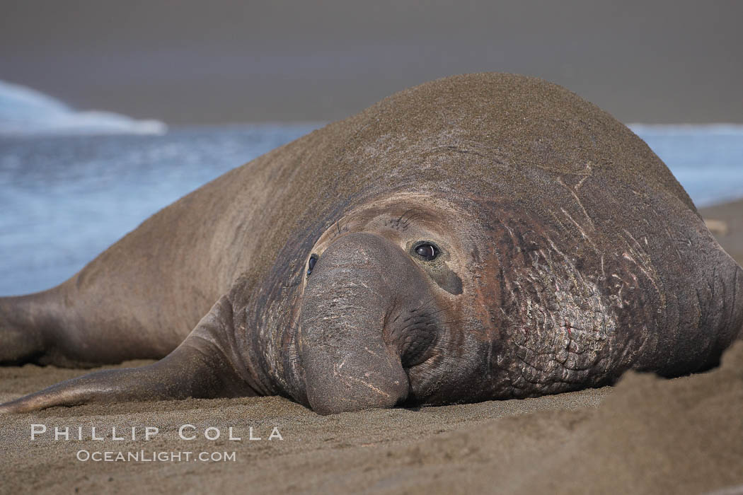 An adult male elephant seal rests on a sandy beach.  He shows the enormous proboscis characteristic of male elephant seals, as well as considerable scarring on his neck from fighting with other males for territory.  Central California. Piedras Blancas, San Simeon, California, USA, Mirounga angustirostris, natural history stock photograph, photo id 15440