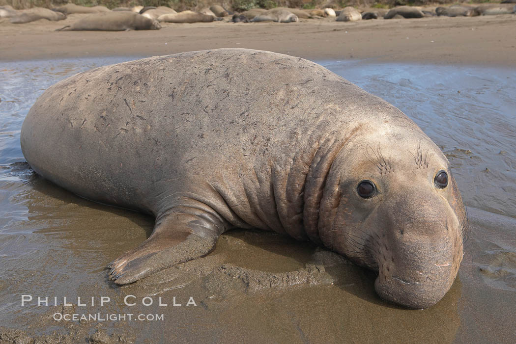 Adult male elephant seal lies on wet sand displaying the huge proboscis that is characteristic of this species.  Winter, Central California. Piedras Blancas, San Simeon, California, USA, Mirounga angustirostris, natural history stock photograph, photo id 15444
