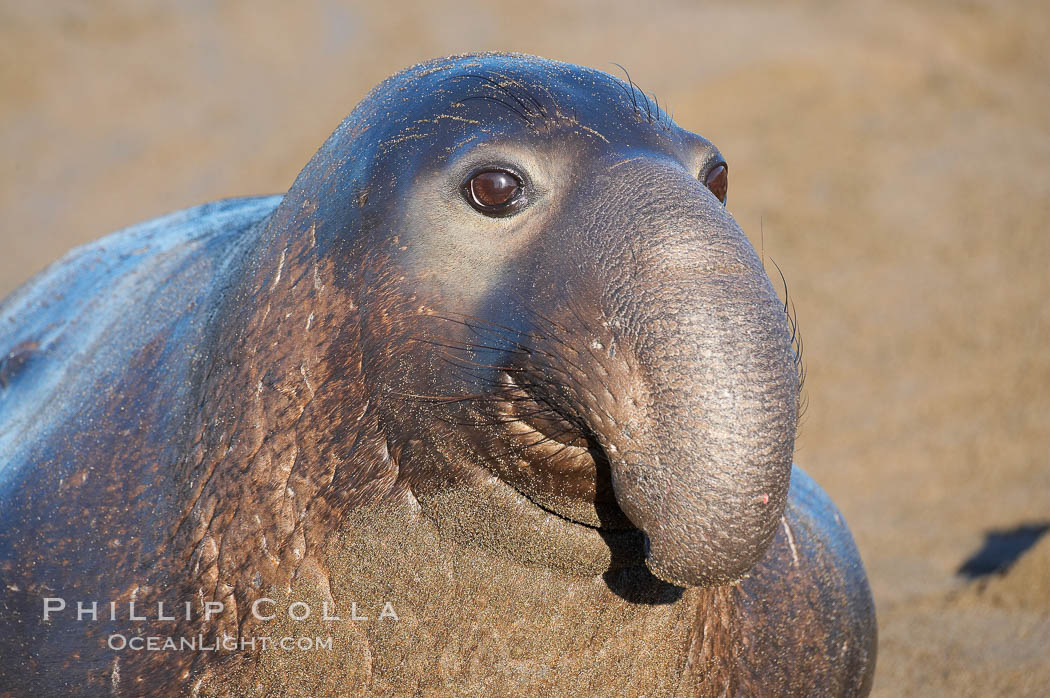 A bull elephant seal (adult male) surveys the beach.  The huge proboscis is characteristic of the species. Scarring from combat with other males.  Central California. Piedras Blancas, San Simeon, California, USA, Mirounga angustirostris, natural history stock photograph, photo id 15460