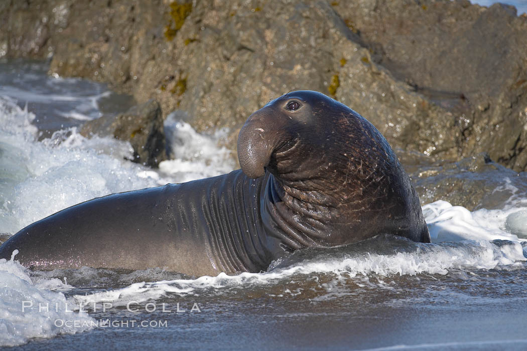Adult male elephant seal in the surf, displaying the huge proboscis that is characteristic of this species.  Winter, Central California. Piedras Blancas, San Simeon, California, USA, Mirounga angustirostris, natural history stock photograph, photo id 15437
