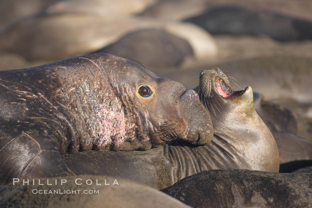 A bull elephant seal forceably mates (copulates) with a much smaller female, often biting her into submission and using his weight to keep her from fleeing.  Males may up to 5000 lbs, triple the size of females.  Sandy beach rookery, winter, Central California. Piedras Blancas, San Simeon, California, USA, Mirounga angustirostris, natural history stock photograph, photo id 15445