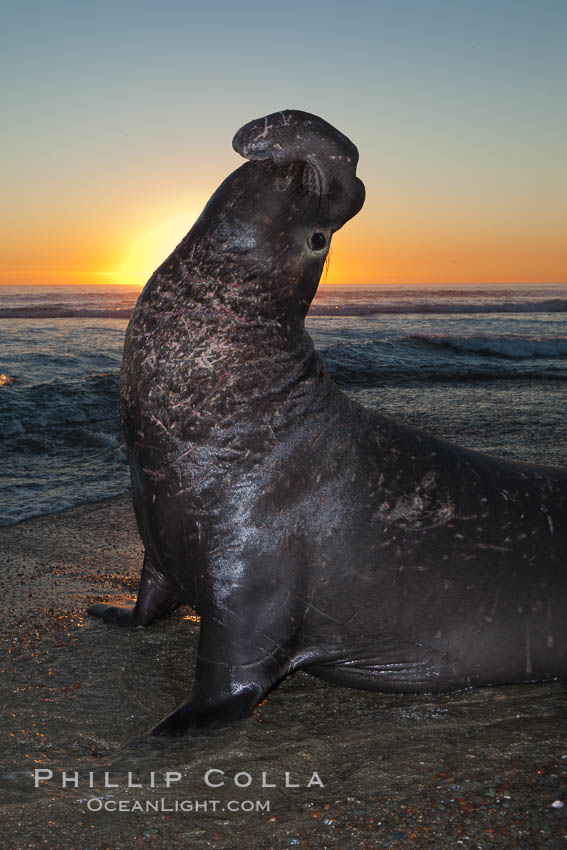 Northern elephant seal., Mirounga angustirostris, natural history stock photograph, photo id 26691