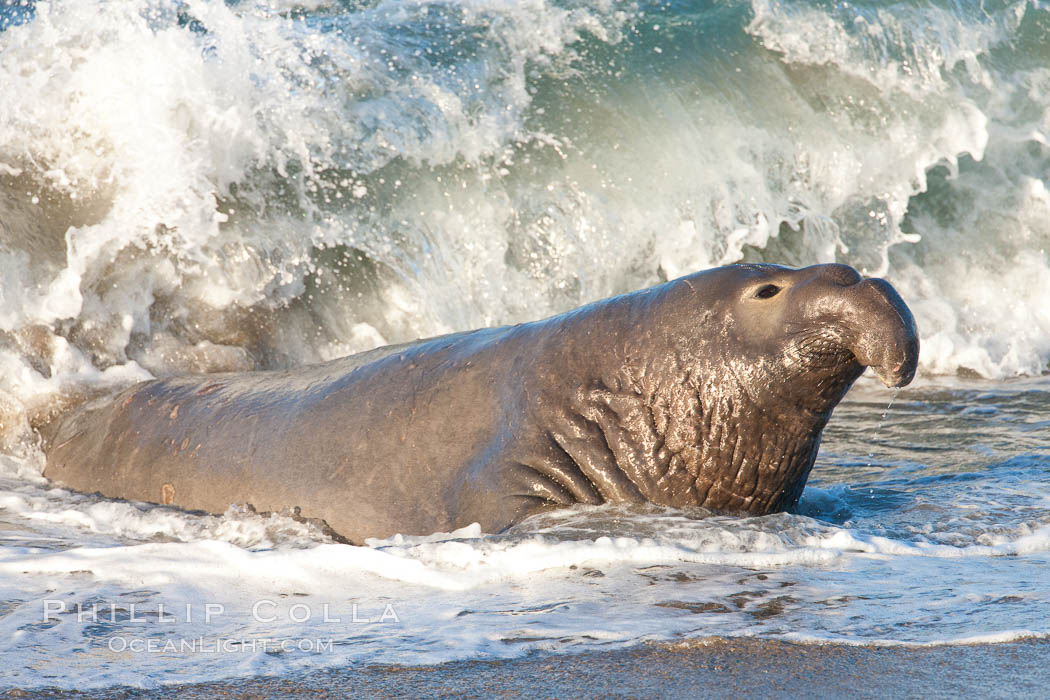 Northern elephant seal., Mirounga angustirostris, natural history stock photograph, photo id 26695